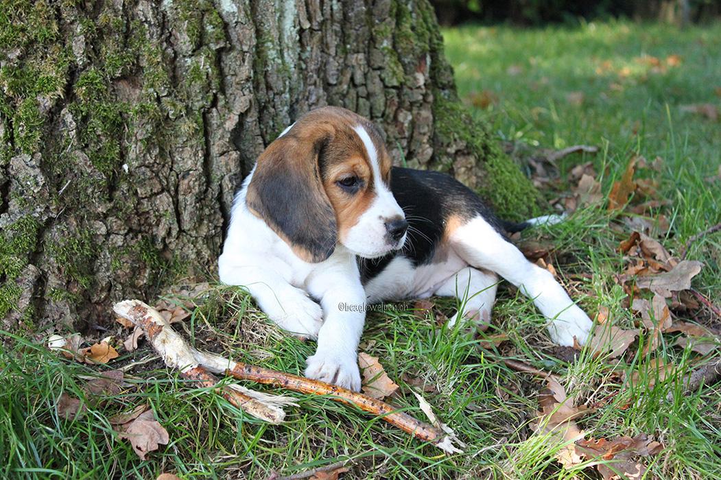 Beaglewelpen zu verkaufen